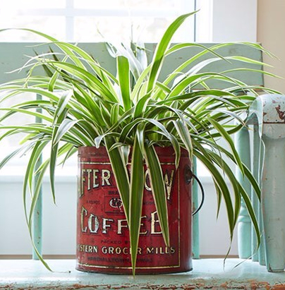 houseplant-spider-plant-costa-farms (1)